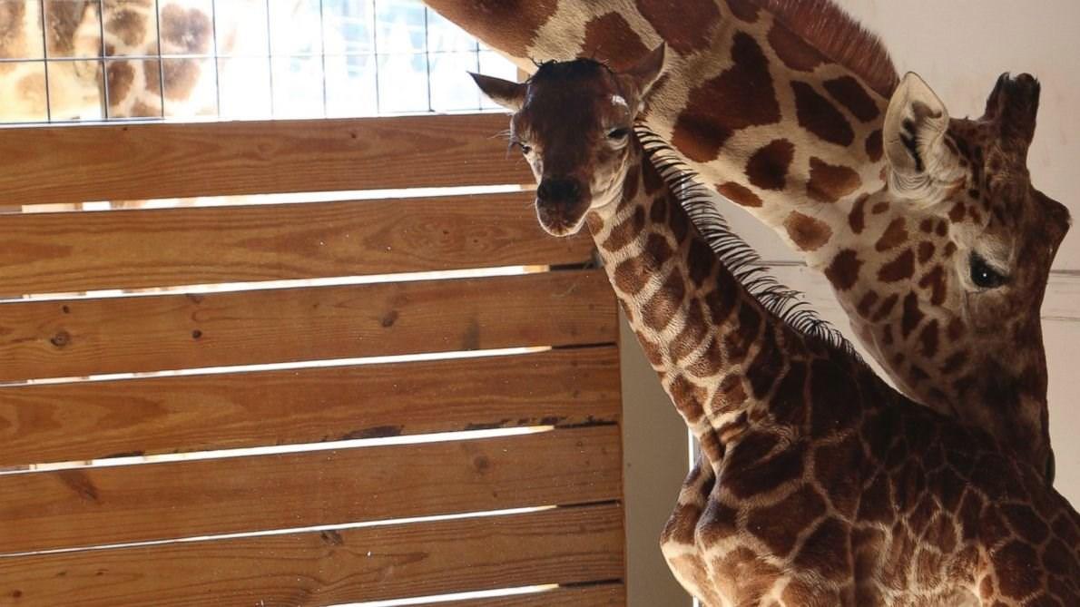 Baby bump birthing giraffe becomes a cash cow for Abc cuisine esch